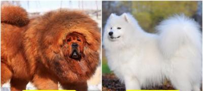 Kojih je 10 rasa pasa najskuplje na svetu?